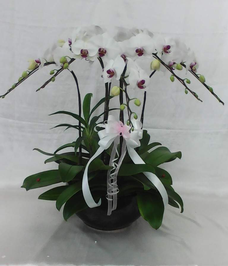Phalaenopsis Plant display